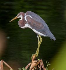 07-09-15-000002565.jpg (Lake Worth) Tags: bird nature birds animal animals canon wings florida wildlife feathers wetlands everglades waterbirds southflorida 2xextender sigma120300f28dgoshsmsports