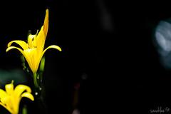 Void III (saeah_lee) Tags: flowers flower macro nature yellow blackbackground outside outdoor korea wildflowers void southkorea wildflower chiaksan wonju