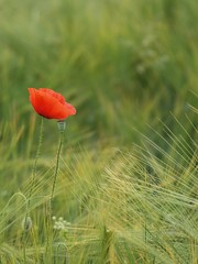 Communion * (Titole) Tags: red green barley poppy coquelicot friendlychallenges titole nicolefaton