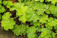 Lady's Mantle after heavy rain (CarolAnn Photos) Tags: home rain july foliage raindrops 2015 alchemillamollis ladysmantle