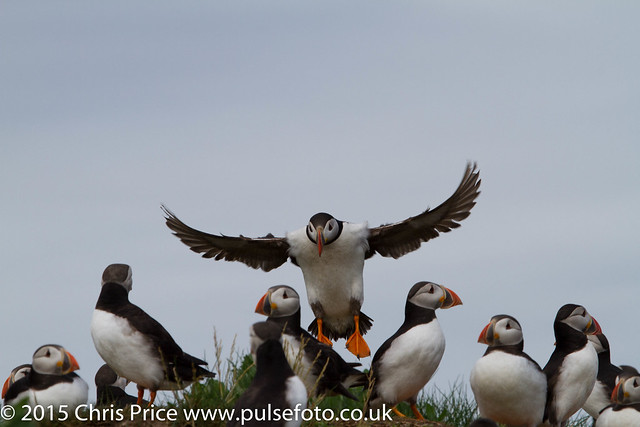 Puffins, Farne Islands