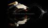 LakeChabot_123116_059 (kwongphotography) Tags: lakechabot castrovalley birds calif americanwhitepelican pelican wildlifephotography nature naturephotography wildlife birdsinflight unitedstates