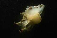 Thetys Fimbra (omar.flumignan) Tags: thetysfimbra nudibranco nudibranch mollusco underwaterphoto fotosub mare sea siastiana bay baia castelreggio italia fvg friuliveneziagiulia canon g7xmk2 fantasea fg7xmk2 ikeliteds51 ngc allnaturesparadise gasteropode seaslug