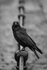 Railing (gothick_matt) Tags: bristol bird harbourside crow floatingharbour uk places harbour unitedkingdom