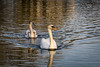 Swans (Alastair J Lofthouse LRPS) Tags: rickmondsworth rps amersham 2016 canal december grand union swans swan bird waterfowl