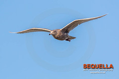 Glaucous Gull (Jeff Higgott (Sequella.co.uk) - 2 million views!) Tags: jeffhiggottphotography jeffhiggott sequella bird