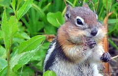 DSC_0734 (rachidH) Tags: squirrel écureuil rodents goldenmantledgroundsquirrel spermophiluslateralis callospermophiluslateralis spermophileàmanteaudoré écureuilterrestreàmanteaudoré spermophileàmanterayée logan pass loganpass westglaciernationalpark montana rockymountains mt rachidh nature