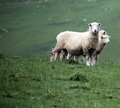 Another trio (baalands) Tags: new south island sheep farm zealand romney stud ewe lambs