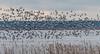 Snow Geese at Blackwater (Bonnie Ott) Tags: snowgeese blackwaternationalwildliferefuge
