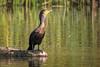 Double-crested (Apfhex) Tags: cormorant springlake sonomacountyregionalparks