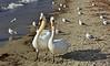 Côte à côte... (Diegojack) Tags: oiseaux couple cygnes plage préverenges