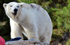 Polar Bear San Diego Zoo (Patrick James Colorado) Tags: sandiegozoo animals sandiego animal polarbear bear