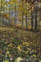 bosco e sottobosco, wood and undergrowth (paolo.gislimberti) Tags: paesaggi landscapes wood bosco sottobosco undergrowth alberi trees foglie leaves autumn autunno autumnalcolors coloriautunnali