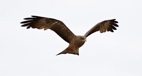 Yellow-billed kite, Milvus aegyptius, at Elephant Sands Lodge, Botswana