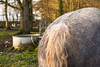 Back ! (martine_vise) Tags: outside horse horsephotography animal pet details animaldetail sunset percheron orne normandie countrylife rurallife percheronphotography bokeh animalphotography nature ponytail back horselife grazing