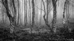 Mysterious Ways (.Brian Kerr Photography.) Tags: mysteriousways edenvalley lazonby mistymorning birches birchtree cumbria trees mono blackandwhite sonyuk a7rii briankerrphotography briankerrphoto wwwbriankerrphotographycom landscapephotography outdoorphotography opoty appicoftheweek