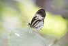 Heliconius (fabriciodo) Tags: heliconius butterfly mariposa macro nature