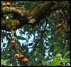 Fig Tree (Indianature st2i) Tags: valparai westernghats tamilnadu tea indianature india indiragandhiwildlifesanctuary anamalaitigerreserve anamalais anamallais 2016 2017 nature figtree ficus stanmoreestate