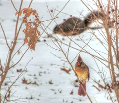 Snowy Day Activities (clarkcg photography) Tags: squirrel cardinal snow winter day cold scamper busy foodsearch evening bedtime wildlife outdoors animals fauna faunasunday7dwf 7dwf