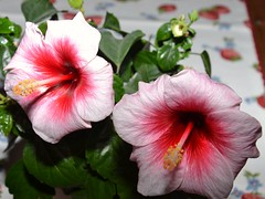 Hibiskuspracht..... (Oldtimer -2016) Tags: natur farbenpracht farbe color blüten blüte blume pflanze flora all hibiskus