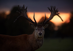 'End of Days' (Jonathan Casey) Tags: d810 sunset gunton oark red deer portrait 200mm f2 nikon vr