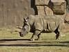 Ceratotherium simum (carlos mancilla) Tags: ceratotheriumsimum rinoceronteblanco zoológicos zoos rhino olympussp570uz