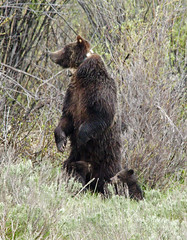 grizzly19 (kevin_sanjuanislands) Tags: grizzlybear grandtetonnationalpark