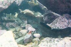 20150606-DSC_8205.jpg (d3_plus) Tags: street sea fish nature japan walking tokyo scenery underwater fine sightseeing sunny diving daily snorkeling freediving    kanagawa hayama     dailyphoto  j4  thesedays  waterproofcase skindiving      nikon1  1030mm shibasakibeach  1  nikon1j4 1nikkorvr1030mmf3556pdzoom  nikonwpn3 wpn3