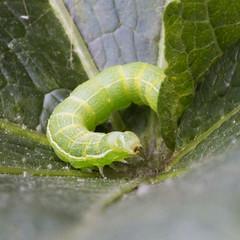 Caterpillar ?