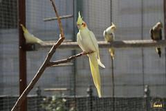 29. Cockatiel / Попугай Корелла