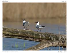 La Brenne (BerColly) Tags: france bird google pond berry flickr centre oiseau mouette etang blackheadedgull mouetterieuse brenne chroicocephalusridibundus bercolly