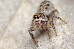 Unknown Jumper On A Rock (#4) (Doundounba) Tags: macro spider montral pentax qubec jumpingspider araigne k3 salticidae dcr250 raynox salticide vivitarseries1105mmf25macro erismilitaris parcnaturedellebizard erissp