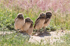 Some of the young owlets