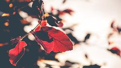 Red (Adrian-D.) Tags: wood sunset red sky white tree rot dawn evening abend leaf warm ast sonnenuntergang himmel dmmerung blatt holz baum beech buche weis