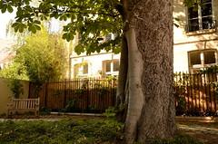 Vieux marronnier, derrire l'htel Barbes  Jardin des Rosiers (cl_p) Tags: paris jardin patrimoine marronnier madamedesvign jardindesrosiers hteldecoulanges htelbarbes