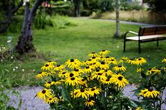 TheYellow Flower bed. (Saeed Nassbeh) Tags: park travel flowers plants lund tourism nature yellow sweden outdoor parks الطبيعة سفر نباتات أصفر حديقة europeantowns سياحة السويد حدائق لوند الهواءالطلق جنائن البلداتالأوروبية