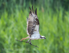 Osprey with Nest Materials (Mike Black photography) Tags: new black bird mike nature canon lens birding nj aves shore jersey 800mm 1dx