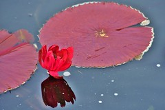Red waterlily with pads (stevelamb007) Tags: flower nature illinois pond nikon waterlily lilypad 18200mm stevelamb d7200
