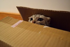 Tiger.F - Cat in the box. (Annie.F / Taiwan) Tags: pets cat tiger   tigerf