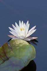 Peace (creativegenius5) Tags: flowers summer waterlily ropermountain