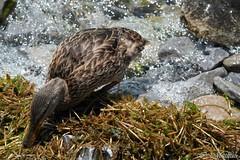 864-Femelle malard (clamato39) Tags: wild ontario canada nature water animal duck eau canard sauvage malard lacontario