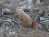 LIH-2933 (Differentialdx) Tags: chicken hawaii kauai keebeach