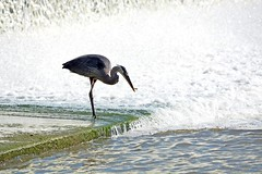 Catching A Snack (Braden Bygrave) Tags: lake ontario canada bird nature water birds animal river waterfall nikon crane outdoor fave phography newhamburg nikonphotography nikond7100 faveforfave
