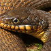 Plain-bellied Watersnake