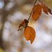 Beech autumn colour
