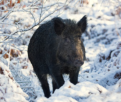 Merry Christmas Everyone :-) (KHR Images) Tags: mature male wild boar wildboar susscrofa winter snow forestofdean gloucestershire closeup mammal nature wildlife nikon d7100 kevinrobson khrimages