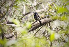 purple sunbird(male) (AanupamM) Tags: bird sunbird purplesunbird malepurplesunbird birdsofindia canon animal
