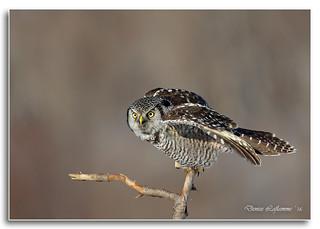 1E1A8127-DL   -   Chouette épervière / Northern Hawk Owl.