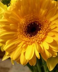 Yellow (KelJB) Tags: vibrant macro petals color colours closeup yellowflower fauna gerbera daisy flower yellow