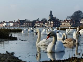The swans of Bosham